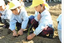 玉ねぎの苗植え